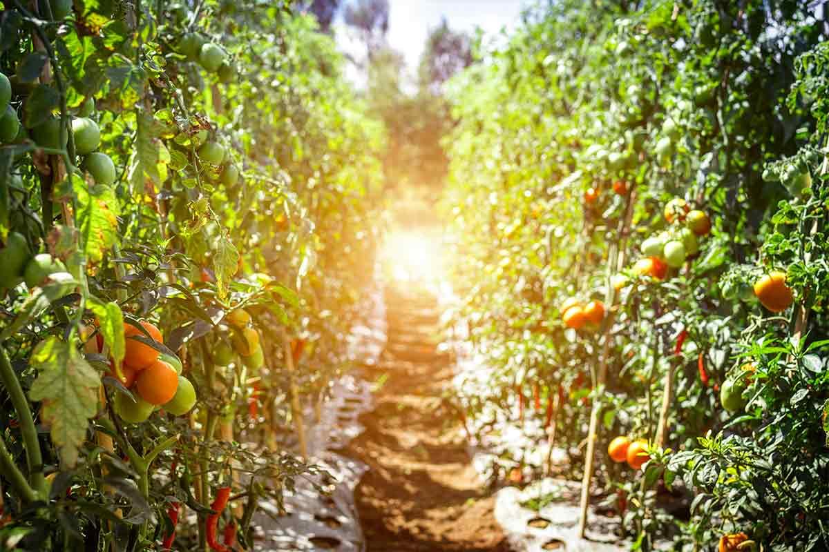 Come Coltivare Pomodoro Con Cura